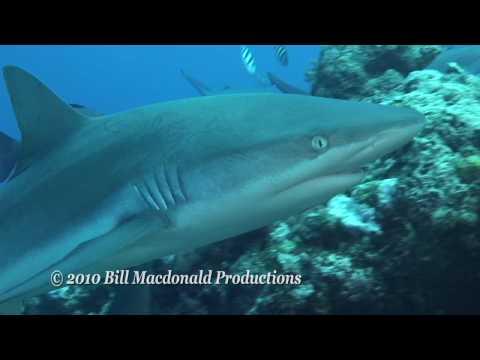 Sharks of Yap, Micronesia