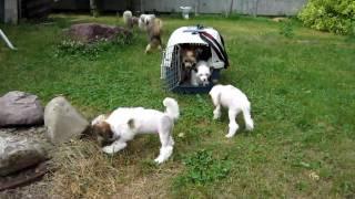 Щенки китайской хохлатой собаки - первая прогулка!
