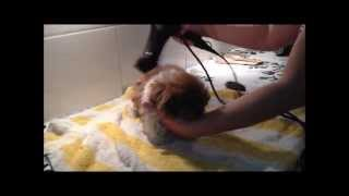 Grooming A Shih Tzu Puppy