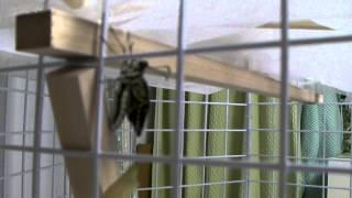 我が家の山椒の木にやってきた青虫あおちゃんが、蛹になり、無事に羽化...