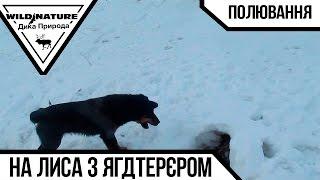 """Охота на лису с ягдтерьером #1 """"Первый опыт"""". Зима 2017"""
