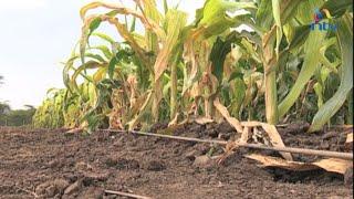 Strange maize virus a nightmare for farmers