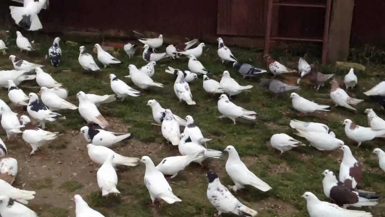 Бакинцы голуби