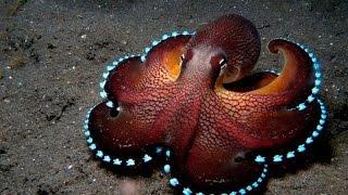 Смотреть всем!!!  Тайны океана    Гиганский Осминог   Документальный фильм