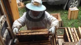 видео Пакетное пчеловодство