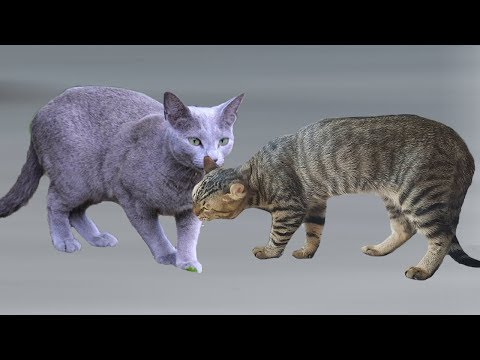 American Curl cat VS Russian Blue Cat - Differences Explained
