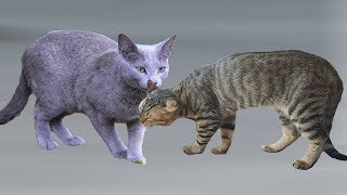 American Curl cat VS Russian Blue Cat  Differences Explained