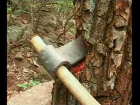 Tirumala Yerra Chandanam Red Sandal Trees Cutting తిరుమలలో