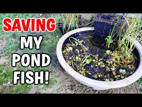 SAVING Pond Fish From FREEZING Winter!