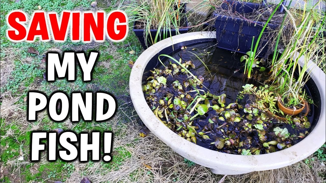 Saving pond fish from freezing winter youtube for Koi pond freezing