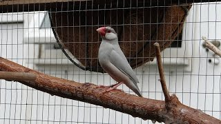 Java Sparrow Aviary