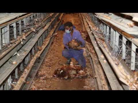 Iraq, Wasit   Avian influenza