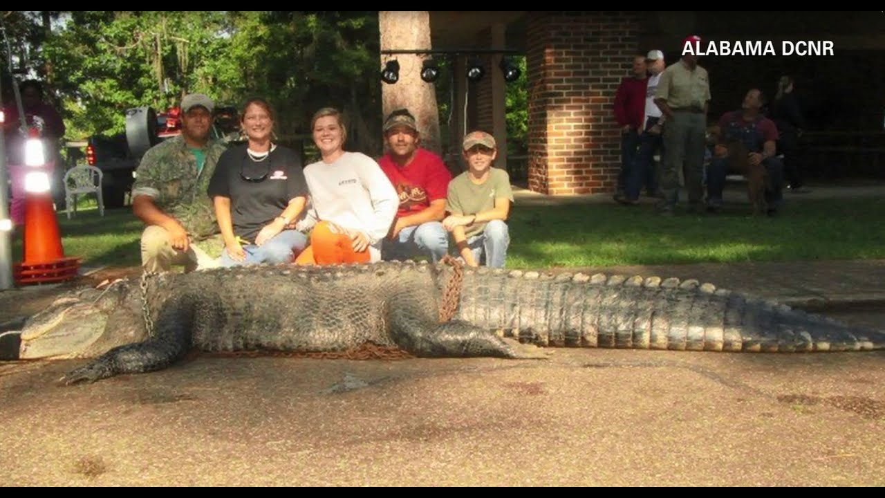 15 foot alligator sets new alabama state record youtube