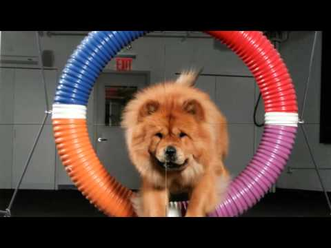 Beautiful photos of dog breeds Chow Chow
