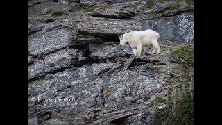 Chèvre des montagnes Rocheuses au Glacier National Park (Montana - USA)
