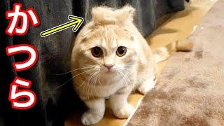 短足猫の抜け毛を頭に乗せるとこうなりました…w