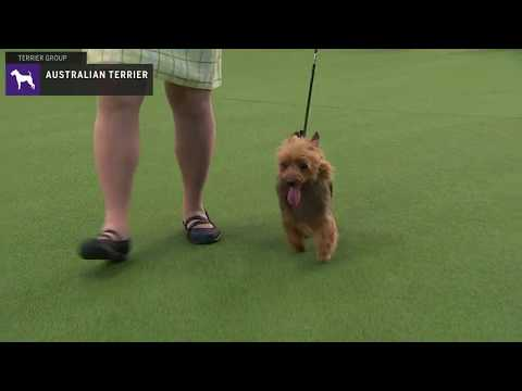 Australian Terriers | WKC | Breed Judging 2020