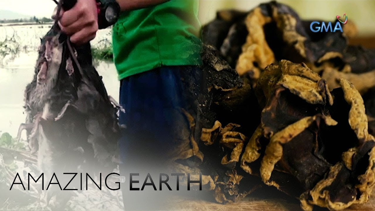 Amazing Earth: Where is 'taingang daga' made from?