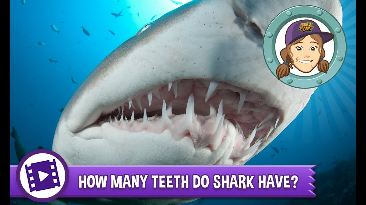 How many shark teeth 1