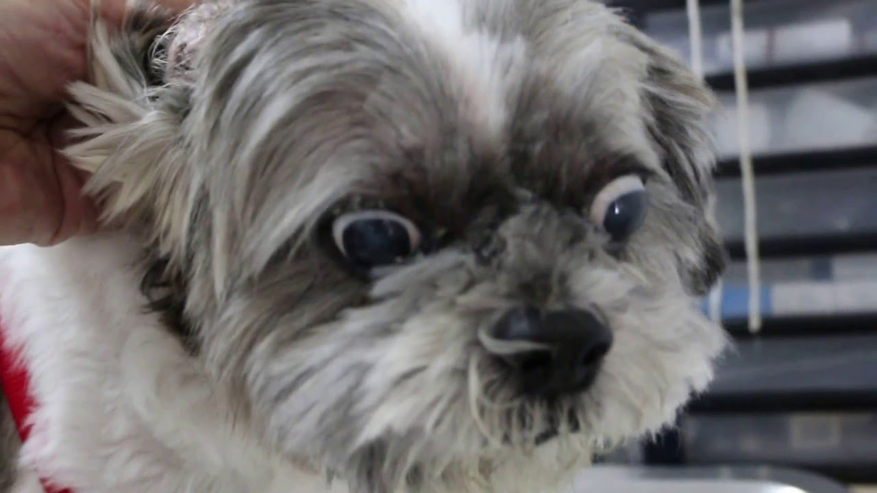 shih tzu coughing an old coughing shih tzu has difficulty sleeping at night 7740