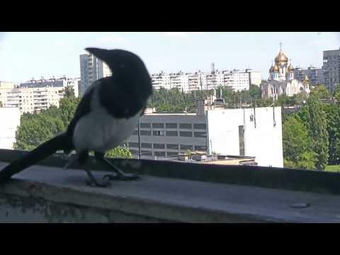 Вопрос: Можно ли приручить взрослого ворона, ворону, сороку?