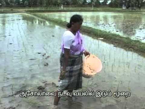 3  Application of Azolla in Paddy field 1 00