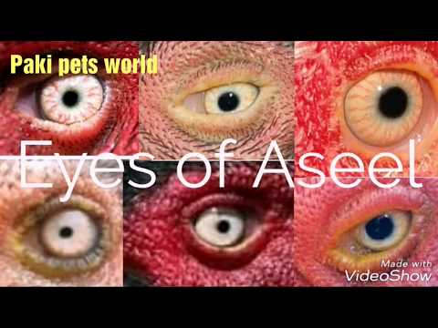 Eyes  shape and colour of pure aseel breed