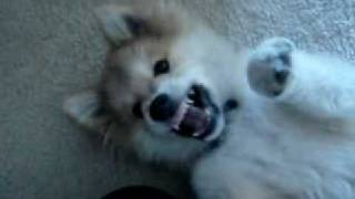 The cutest puppy ever!!  He is a Shiba Inu - American Eskimo mix