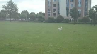 Cavalier King Charles Spaniel Flushes Birds