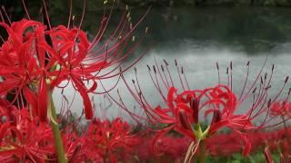海津市津屋川堤防に咲くヒガンバナの様子です。