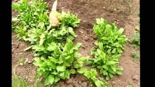 Обзор сада и огорода  Высаживаю позднюю капусту  Overview of the garden and vegetable garden  I plan