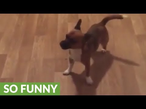 Dizzy pup can't stop spinning in circles