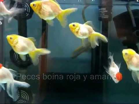 Boinas rojas y amarillas aqualoto com - YouTube 284238738fe