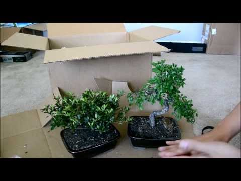 Eastern Leaf Bonsai Tree Unboxing