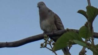 female turtledove in a clear sound flirting the males in the wild