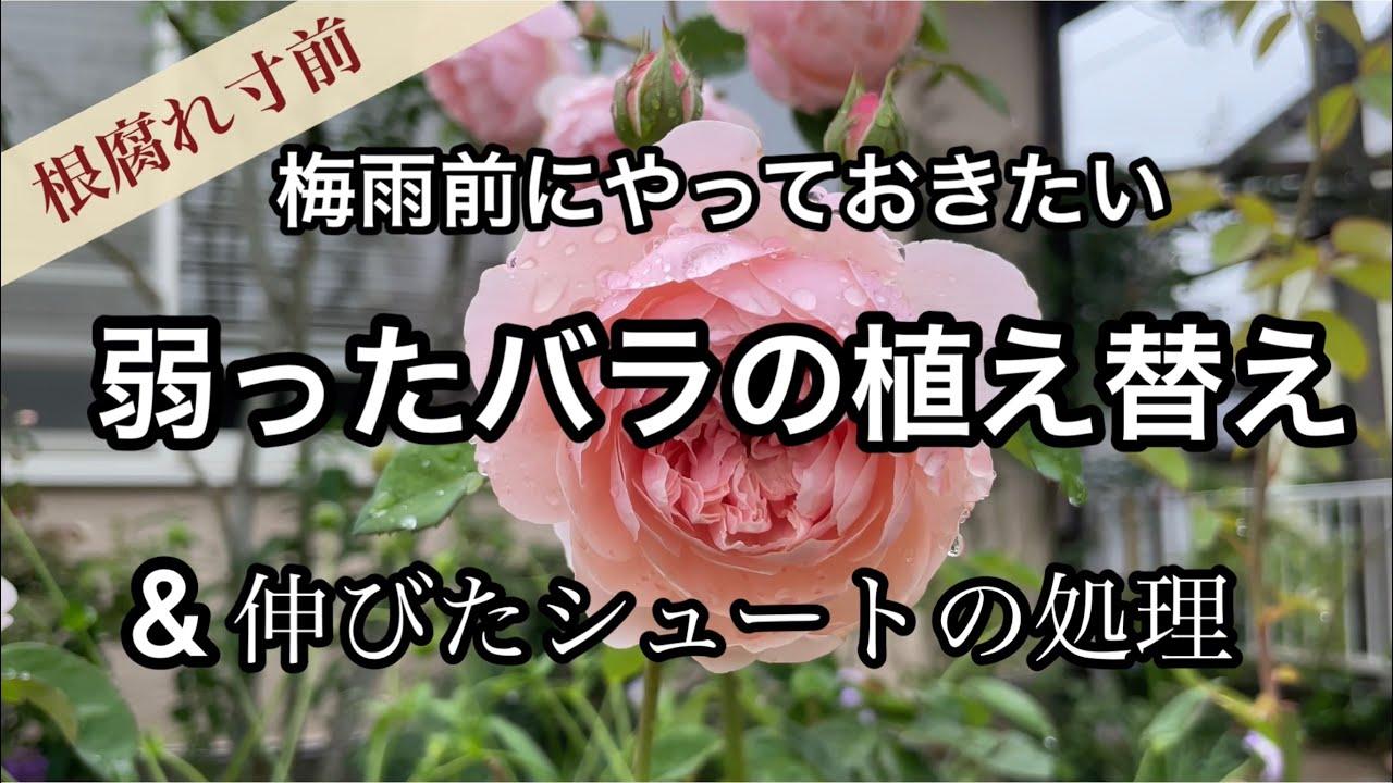 【元気の無い鉢バラの植え替え】シュートの処理とモグラの捕獲作戦