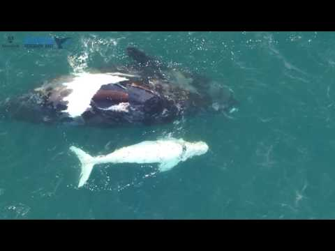 A Rare White Southern Right Whale Calf Has Been Filmed For The First Time