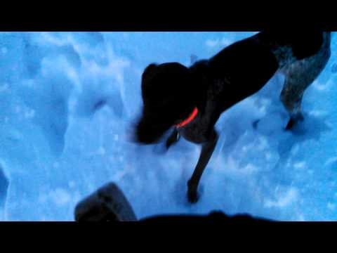German Shorthair Pointer puppy playing in the snow!