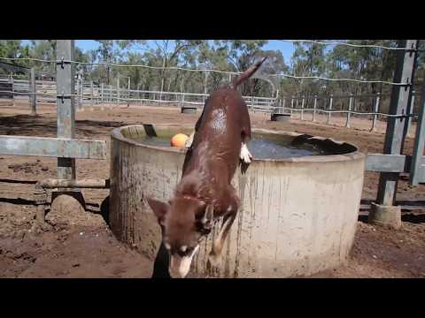 A day in the life of the Australian Working Kelpie.