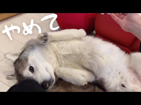 siberian-husky-shows-its-stomach-to-get-away-from-ear-cleaning