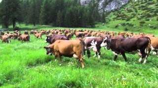 c'est parti pour le repas du soir 200 vaches