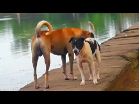 Funny Couple of  Dog are Meeting  near Water Tank,Great Rural Dog