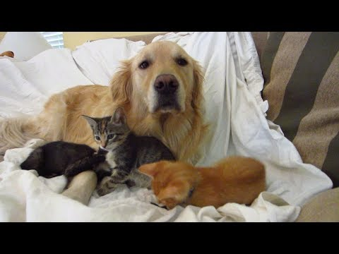 Golden Retriever on the Couch with his Tiny Foster Kittens Playing & Fighting