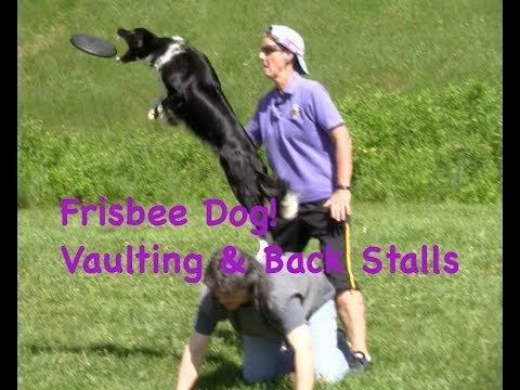 frisbee dog training: vaults & stalls