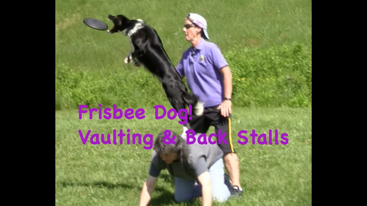 frisbee dog training: vaults & stalls
