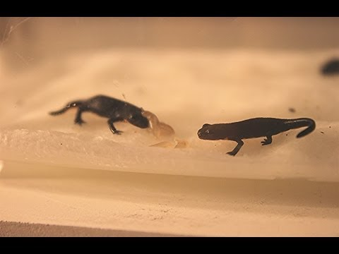 Baby Fire Belly Newts! Baby Slug Feeding