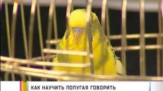 видео Пение Волнистых попугаев и другие звуки, которые издают эти птички
