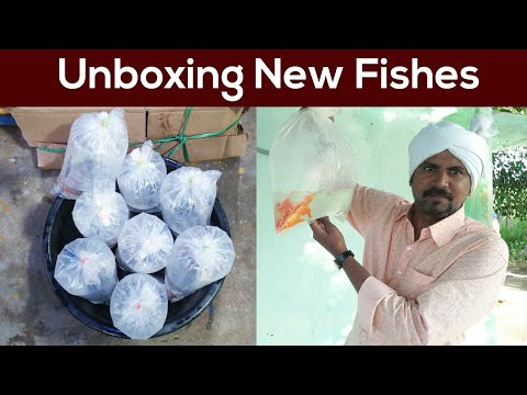 Unboxing New Fishes For My Aquarium, Flowerhorn Fish, Guppy, Molly, Zebra
