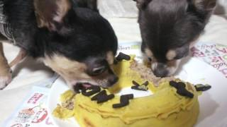 スムースチワワの銀牙と珀狼のお誕生日ケーキは 『キアッケレカーニ』 ...
