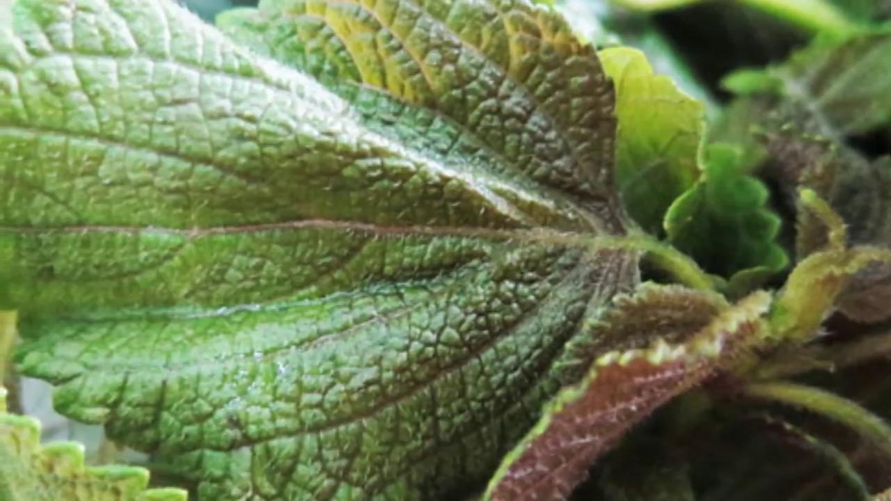 7 tác dụng chữa bệnh của cây tía tô – Da trắng căng mướt, sạch mụn sần nhờ 10 lá tía tô